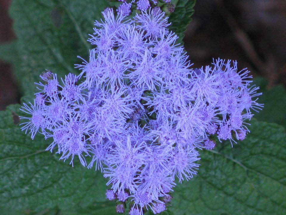 Blue Mistflower Wild Ageratum Hardy Ageratum Blue Boneset Conoclinium Coelestinum Eupatorium Coelestinum Asteracea Wild Ginger Seeds For Sale Dream Garden