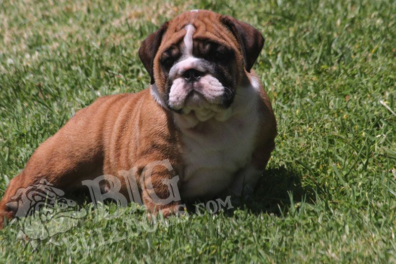 Tittle Winks2 F French Bulldog Stud French Bulldog Breeders