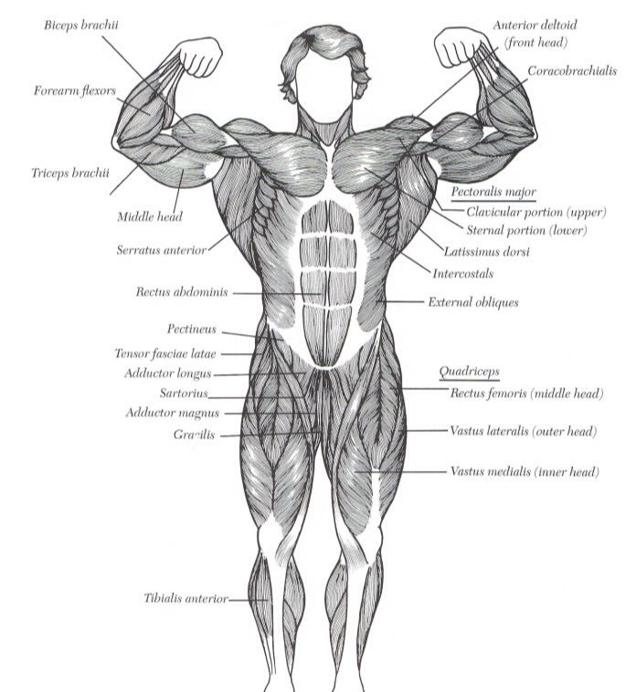 Human Muscular Structure Front Health Fitness Pinterest