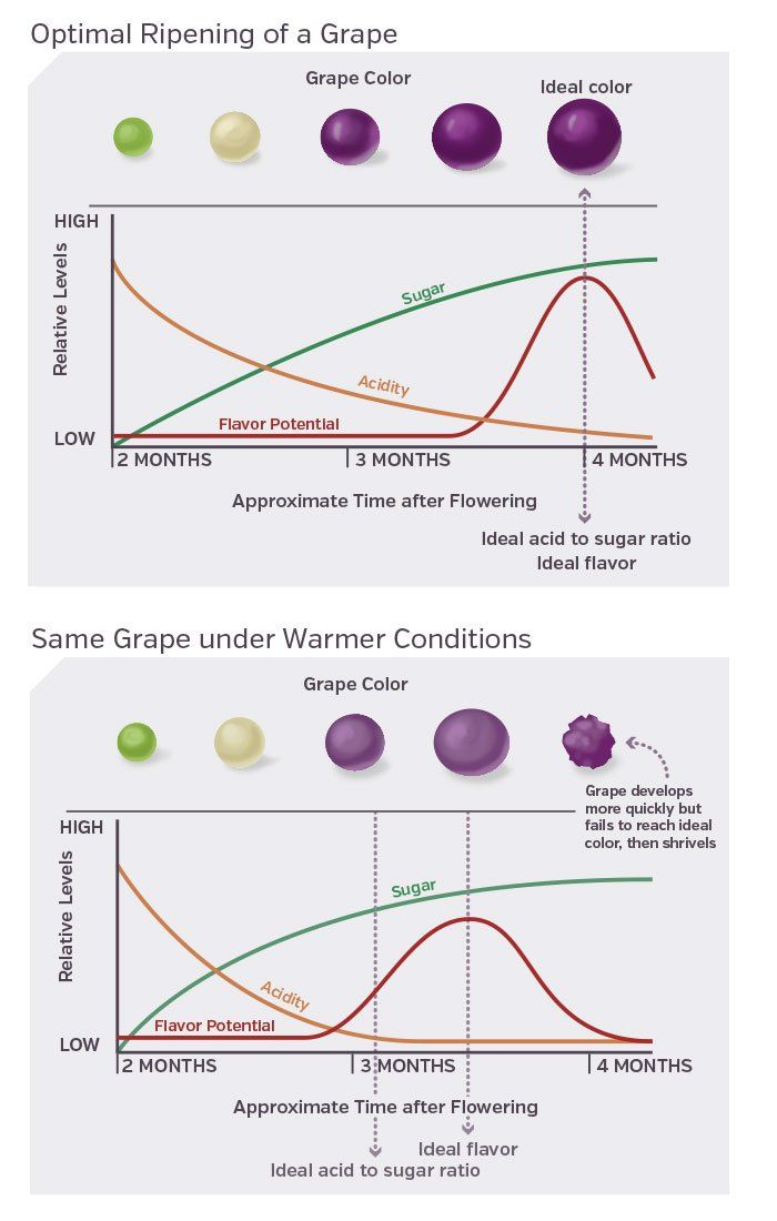 Grape Ripening Chart food to grow in 2018 Pinterest Wine and