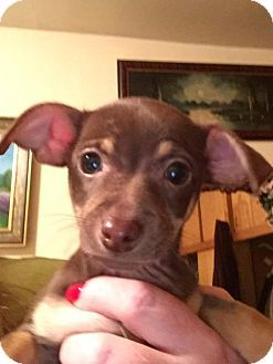 Grand Rapids Mi Chihuahua Mix Meet Buffy A Puppy For Adoption