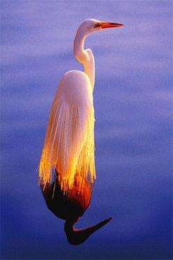 """Gorgeous Photography by Alan Maltz. Key West, FL  Title:    """"First Light""""  Description:    Great White Egret  Location:      Publication:    Florida…Beyond the Blue Horizon"""