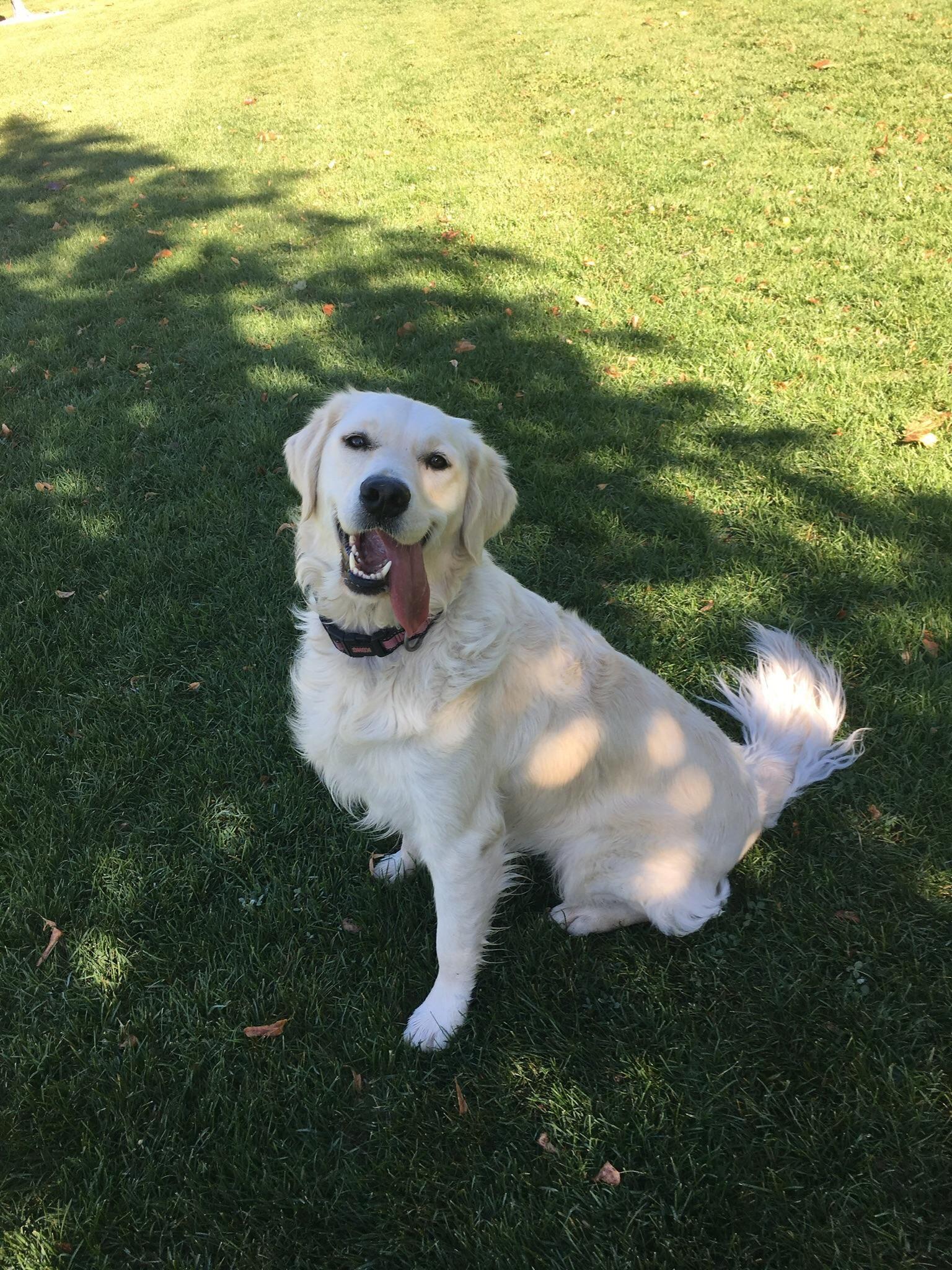 My Irish Cream Golden Retriever Named Nilla Dogpictures Dogs