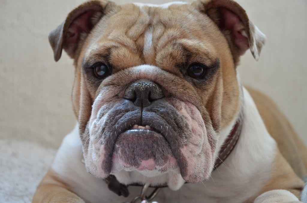Pet Dog Pitbull Muzzle 4k Wallpaper Bulldog Pitbull Dog Pet