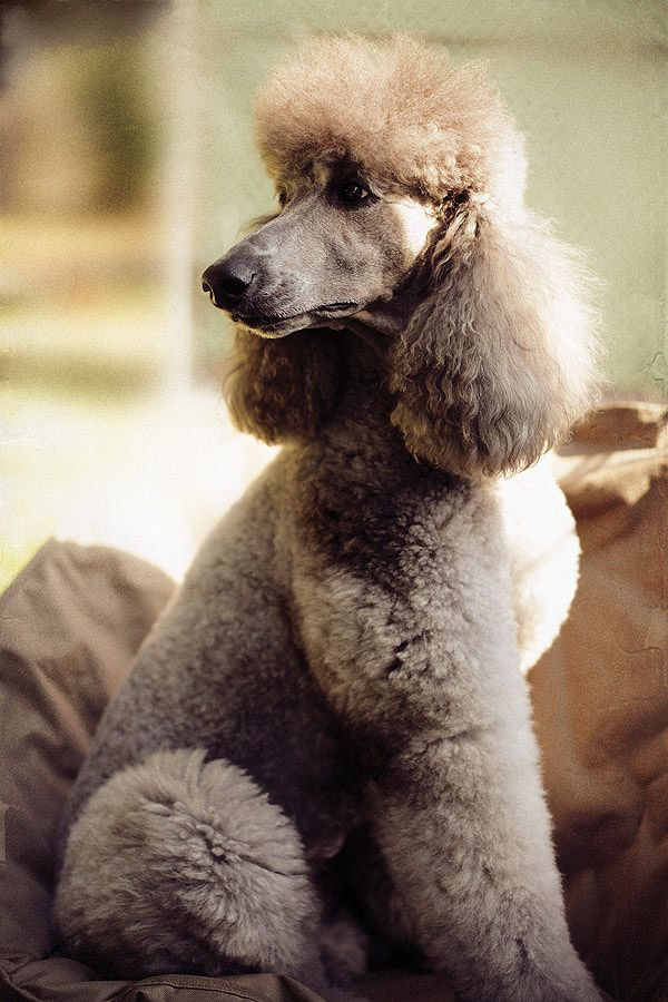 The Most Gorgeous Poodle You Will Ever See Except For My Poodle