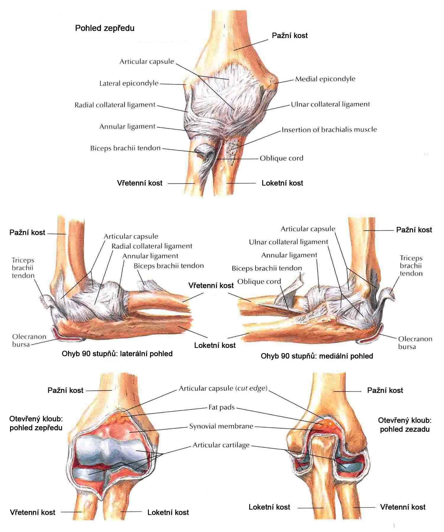 Uncovertebral joint anatomy