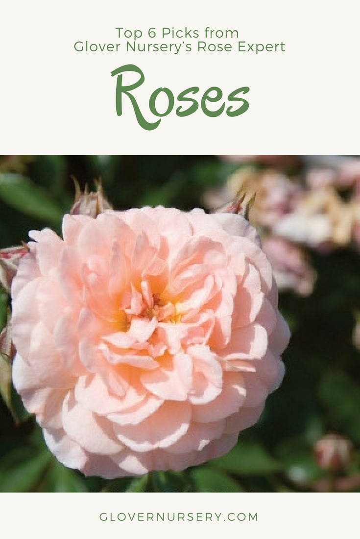 Picks From Glover Nursery S Rose Expert