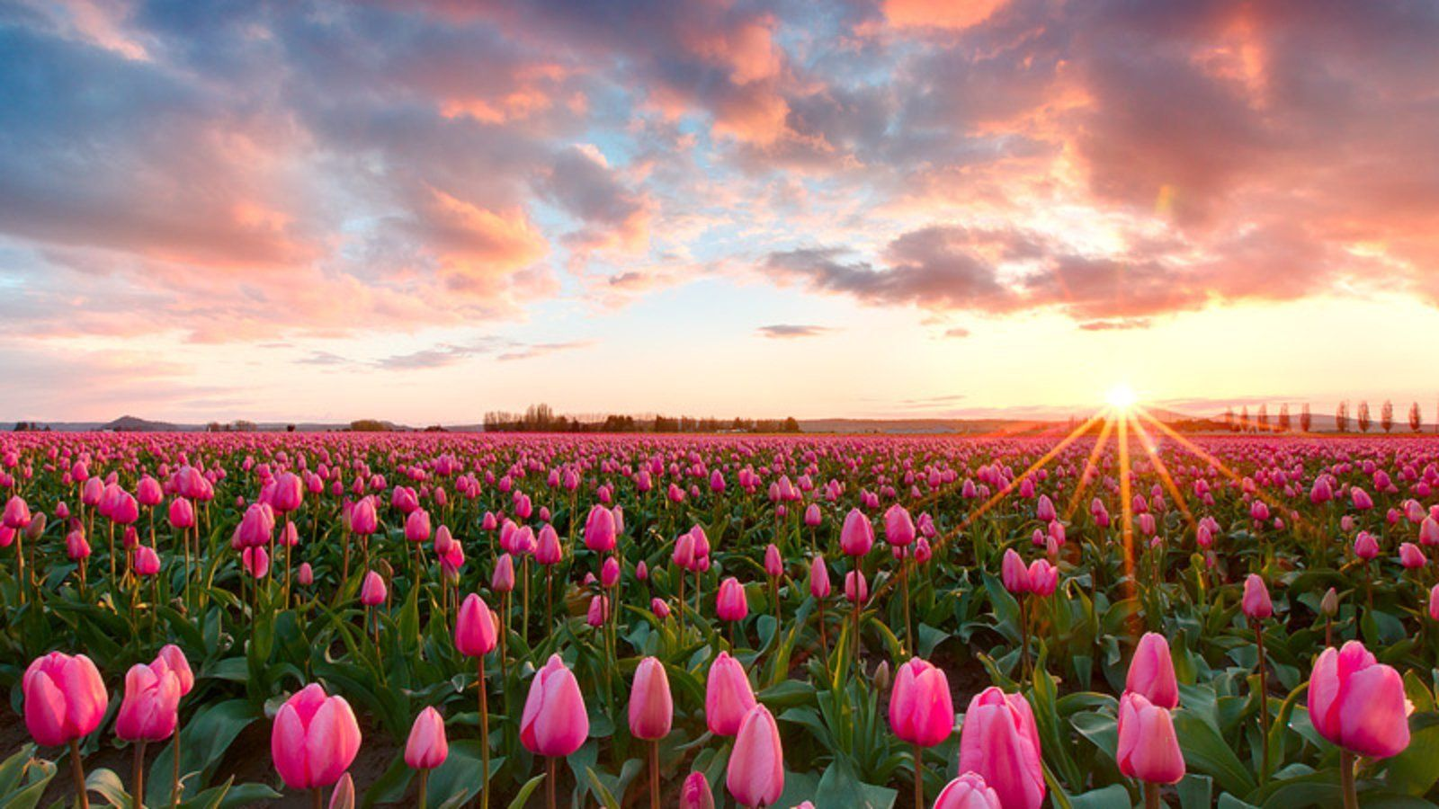 Pink Tulips Wallpaper And Background Image 1600x900 Id In Tulip