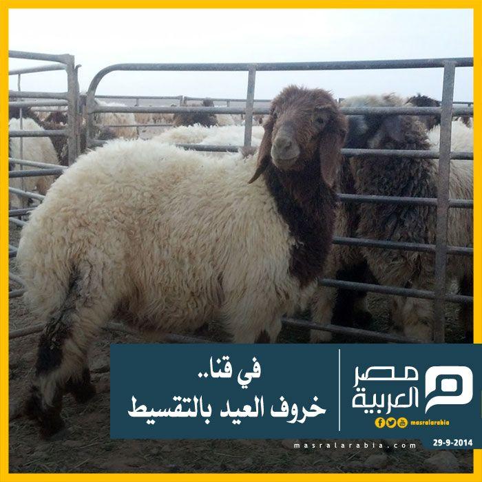 في قنا خروف العيد بالتقسيط لم يجد عدد من تجار المواشي بـ قنا وسيلة لمواجهة حملة المقاطعة الإجبارية التي نظمها المواطنون ضد أضاحي العيد بس Animals Kgi Goats