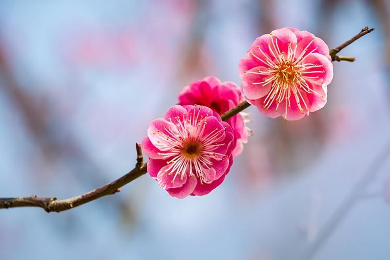 The Plum Blossom A Symbol Of Spring Plum Blossom Plum Flowers Bee Friendly Flowers