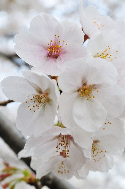 Blossom Beautiful Blooms Beautiful Flowers White Flowers