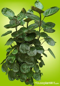 balfour aralias are tall houseplants with leaves that look like round dinner plates http - Tall Flowering House Plants