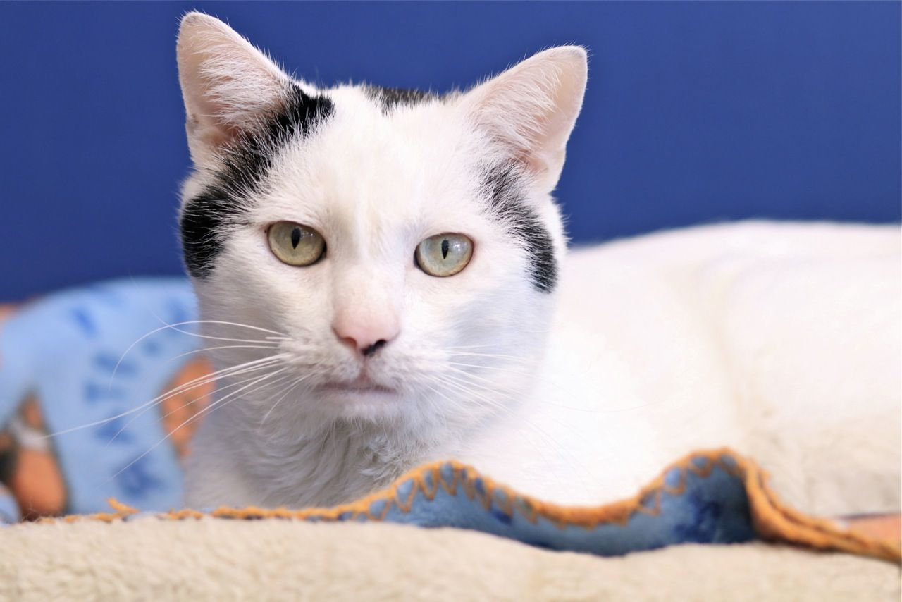 Simon Cat Adoption Kitten Adoption Munchkin Cat