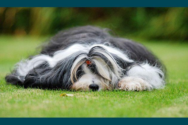 13 Apartment Friendly Dog Breeds | Tibetan terrier ...