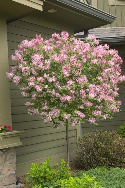 Tinkerbelle Is A Dwarf Lilac With A Pleasing Spicy Fragrance And Incredible Wine Red Flower Buds That Open In Trees For Front Yard Lilac Tree Flowering Trees
