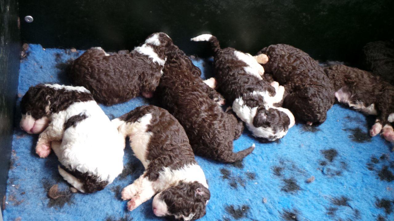 Spanish water dog puppies Spanish water dog, Dogs