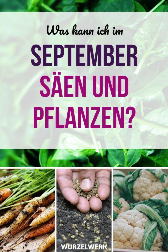 Aussaat & Pflanzen im September + Beispiel-Pflanzplan - Wurzelwerk #gemüsepflanzen