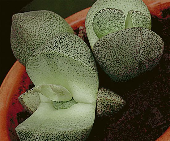 Split Rock succulent