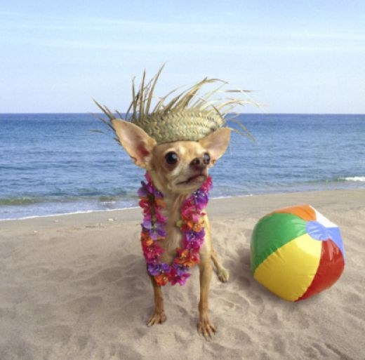 The Complete Guide To Chihuahua Clothes My Dogs Don T Wear But Cute Pic
