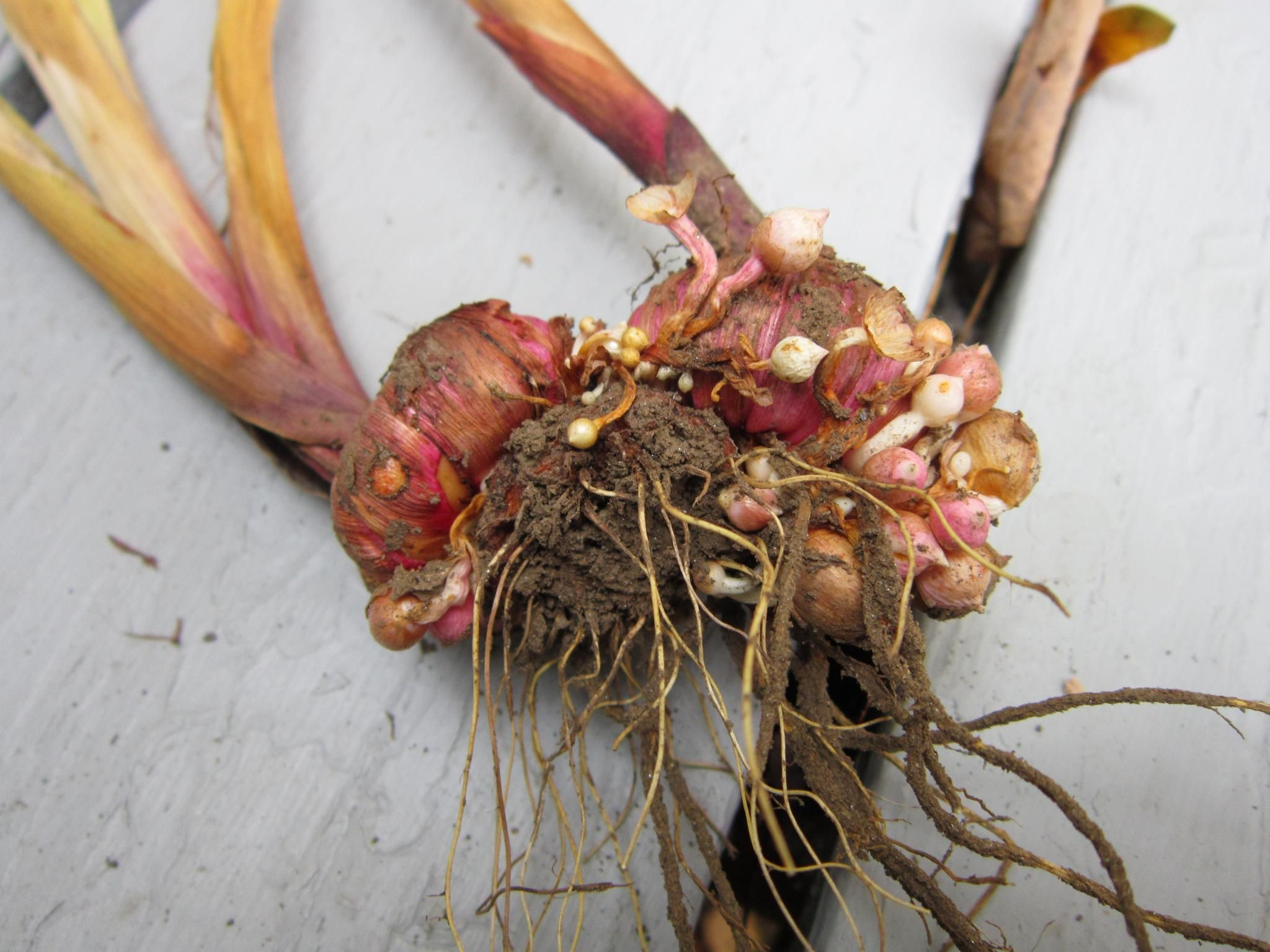 Do You Dig Up Gladiolus For Winter Care Here 39 S How From The Old Farmer 39 S Almanac Gladiolus Bulbs Gladiolus Bulb Flowers