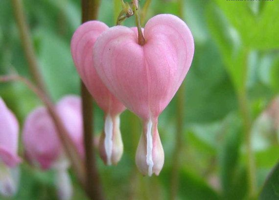 Dicentra Spectabilis Seeds  PEACHES & CREAM  by theseedhouse