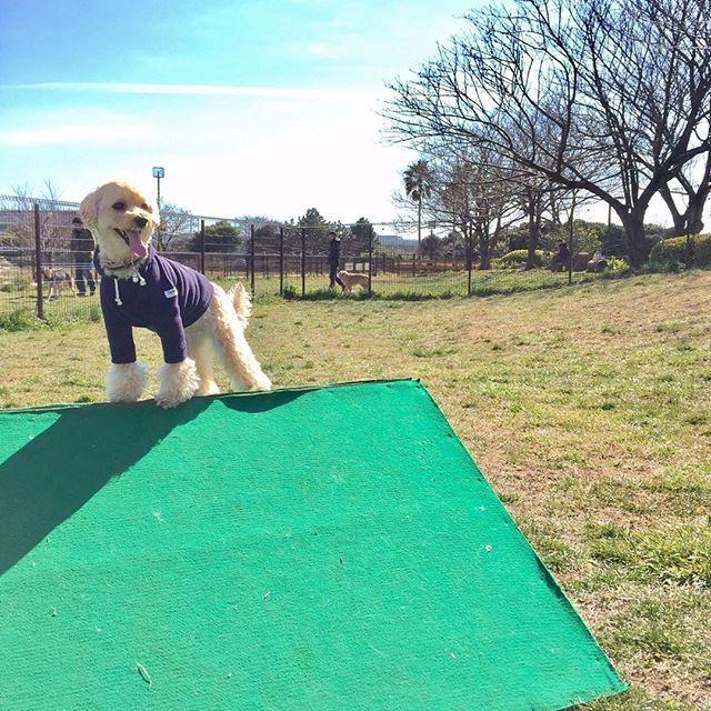 誰も居ないドッグランでは勝ち誇ったように強気 マルプー Mix犬 ミックス犬 Pet ペット マルチーズ トイプードル マルプー連合 犬 愛犬 ふわもこ部 Maltipoo Maltipoolove Maltipoosofinstagram Maltese Toypoodl ドッグラン トイプードル 犬