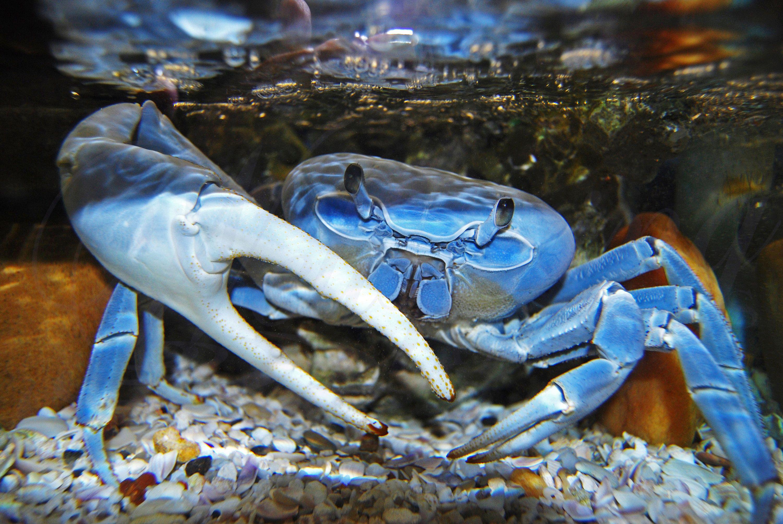 Blue crab sealife photography crustasean crab in water