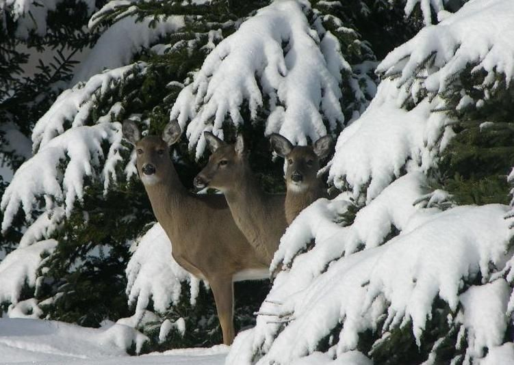 Deer and snow