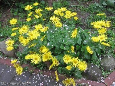 Omieg Wschodni Omieg Kaukaski Byliny Baza Roslin Plants Perennial Garden Perennials