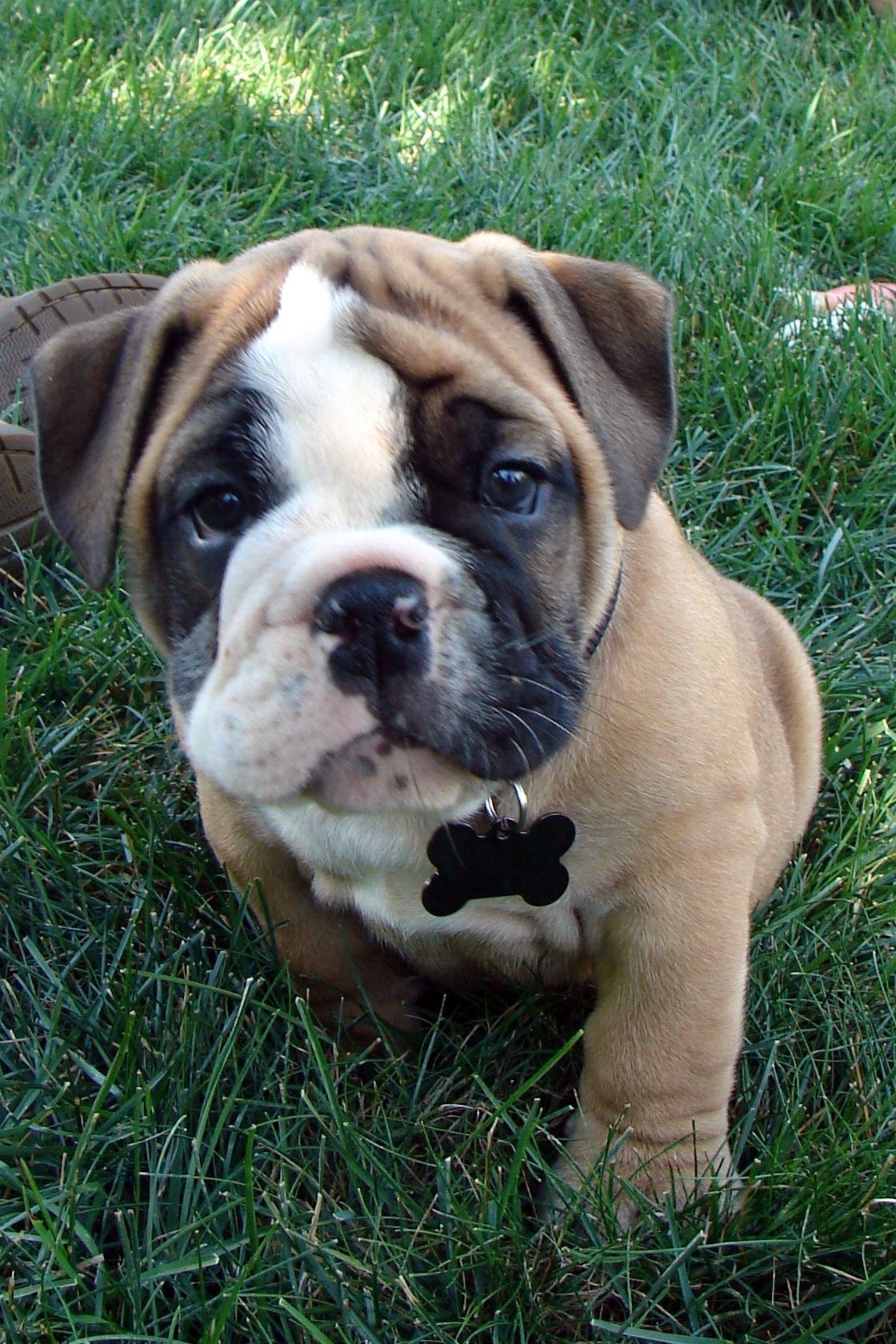 Bruno english bull dog baby dogs cute animals cute