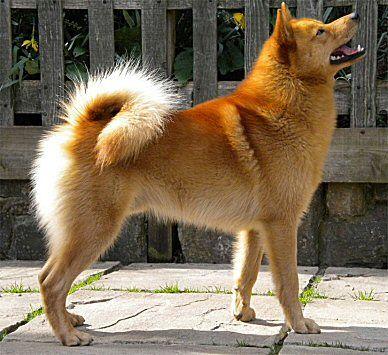 Finnish Spitz Aka Suomenpystykorva Finnish Spitz Spitz Dog Breeds Spitz Dogs