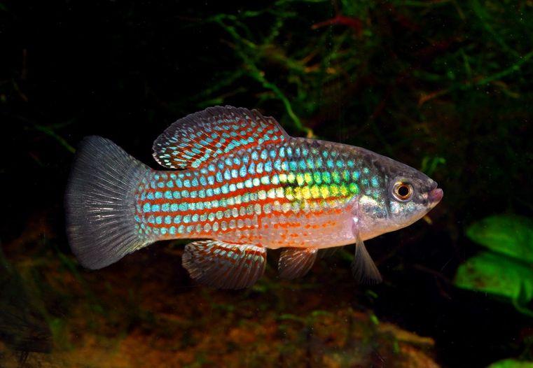 Colorful Community Freshwater Fish