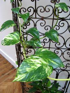 scindapsus aureus pothos mes plantes int rieures pinterest plantes plante interieur et. Black Bedroom Furniture Sets. Home Design Ideas