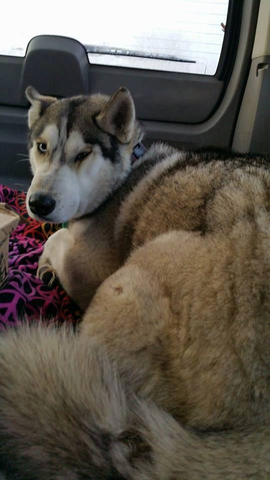 Pin On Lost And Found Huskies Malamutes