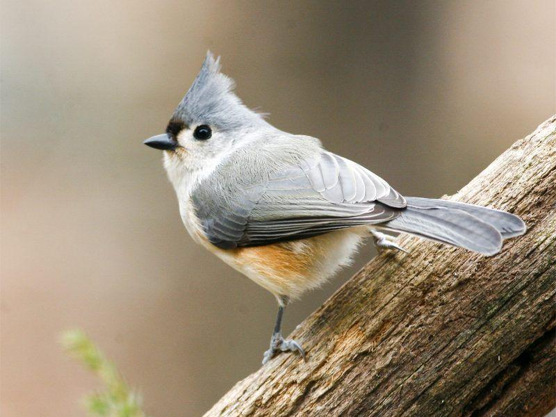 Central Texas Backyard Birds Has galleries of permanent ...