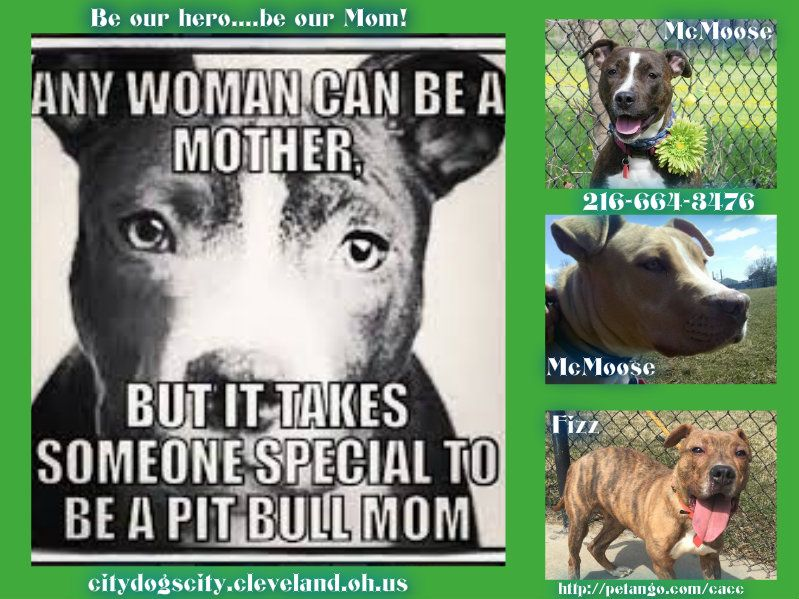 Be Our Hero Fizz Mcmoose Meetra Http Petango Com Cacc Email Citydogs City Cleveland Oh Us 216 664 3476 With Images Pitbull Mom Love To Meet How To Find Out