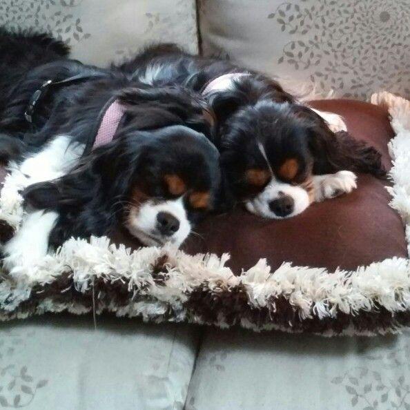 Sisterly Love Cavalier King Charles Dog King Charles Dog King