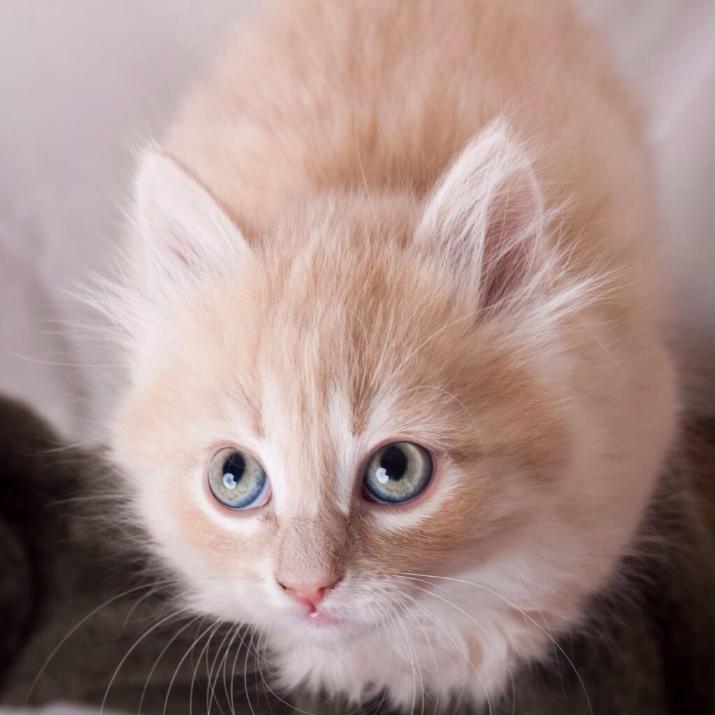 Gorgeous Cream Colored Kitten Kittens Cutest Gorgeous Cats Cute Animals