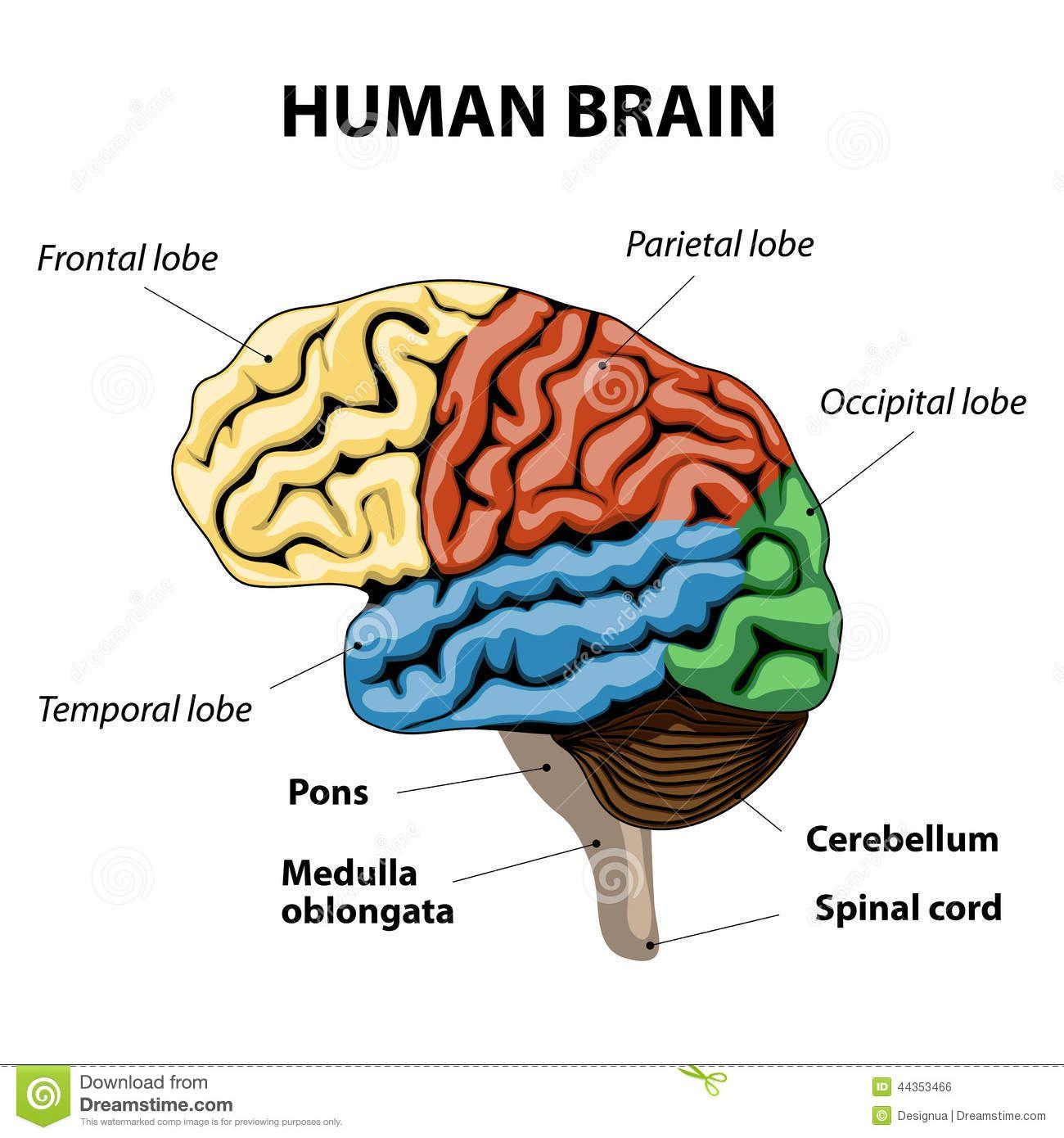 brain anatomy pictures   human brain anatomy stock vector - image, Human Body