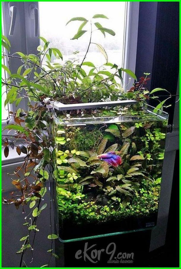 Membuat Aquarium Ikan Cupang Aquarium Mini Ikan Cupang Model Aquarium Ikan Cupang Menghias Akuarium Ikan Cupang Aquariu Planted Aquarium Tank Betta Menanam
