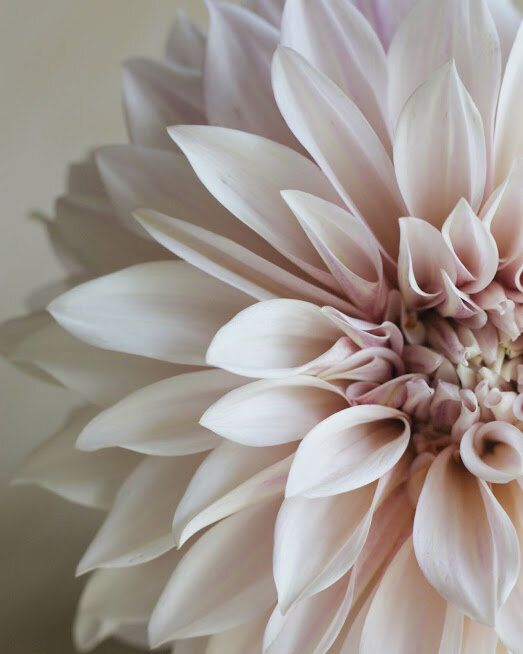 How to Grow Cafe au Lait Dahlias — the kokoro garden