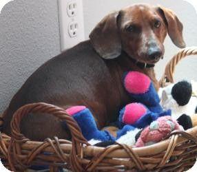 Rio Rancho Nm Dachshund Meet Walter A Dog For Adoption