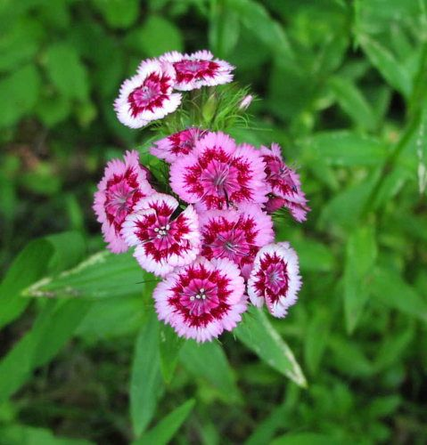 Wildflower Detail Sweet William Dianthus Barbatus From Youghiogheny River Trail Dianthus Barbatus Sweet William Flowers Sweet William