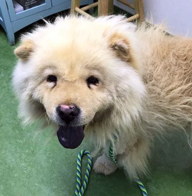 Chow Chow Dog For Adoption In Ventura Ca Adn 557999 On