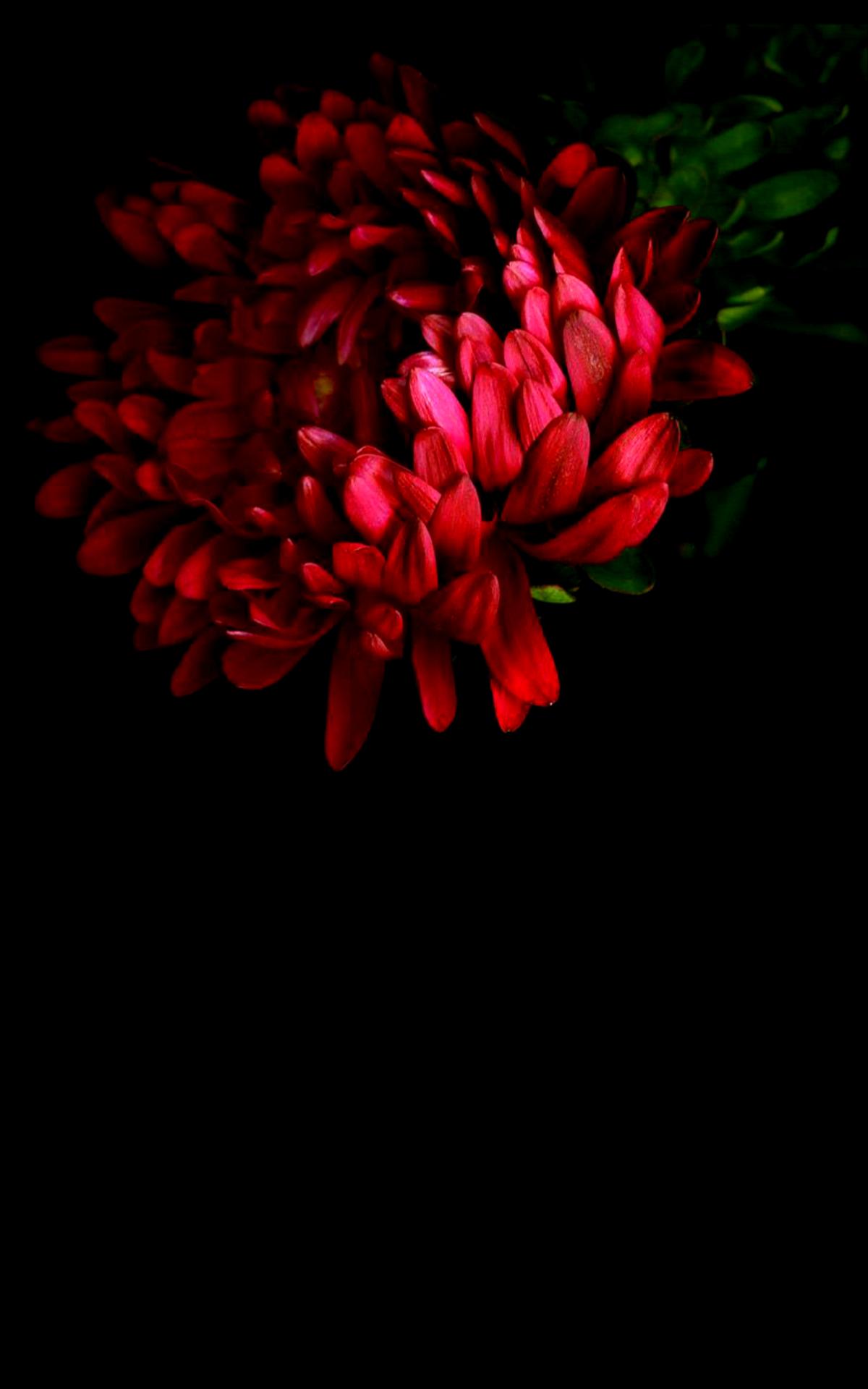 Mennyfox55 Rojo Flowers Photography Beautiful Flowers Flower Background Wallpaper