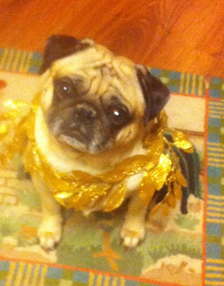 Toga Party Pug Toga Party Egyptian Party Pug Life