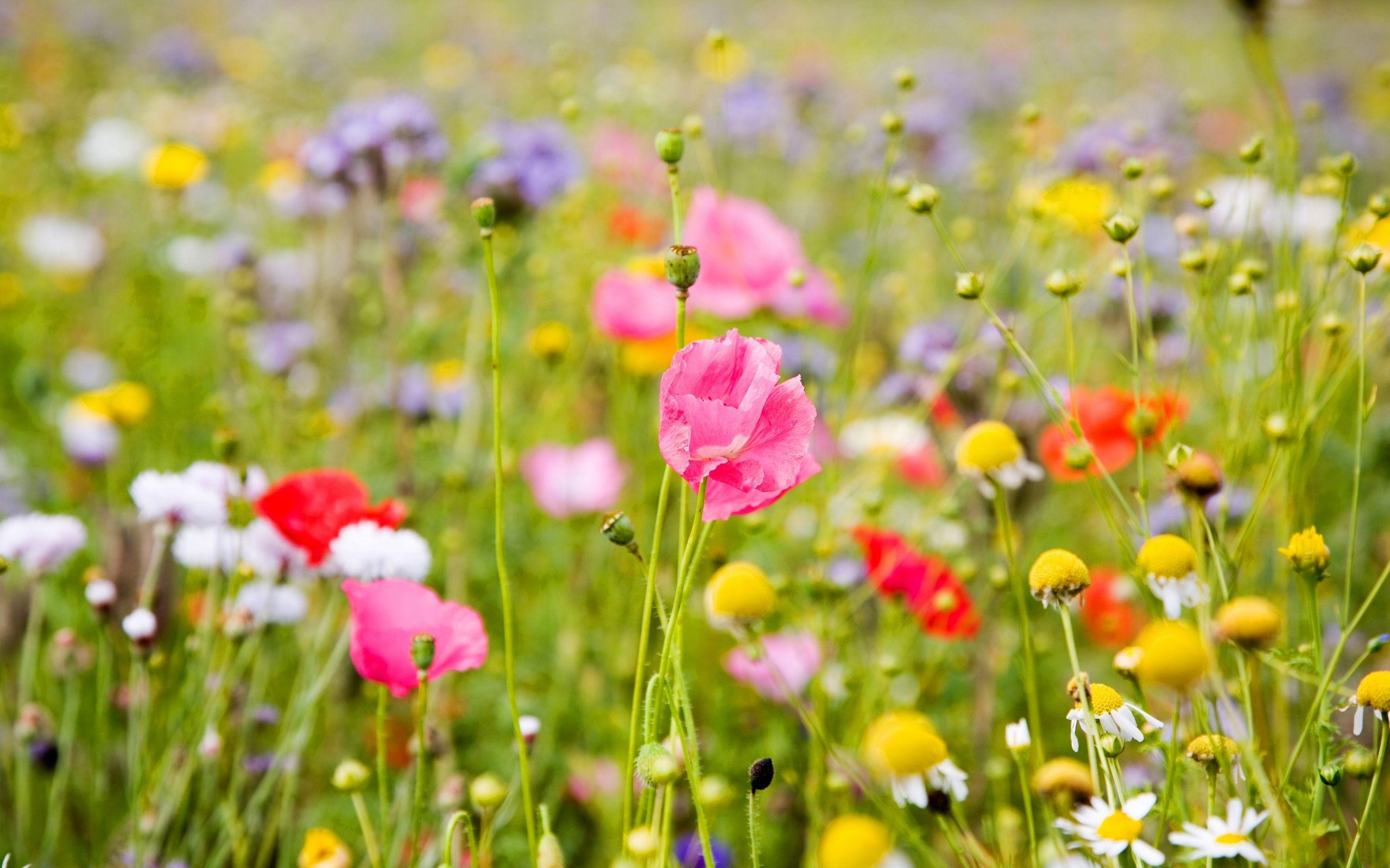 Field Flowers HD Wallpapers
