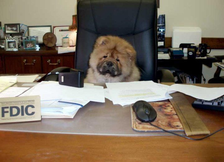 So Much Work To Do Chow Chow Chow Chow Dog Puppy Boo The Dog
