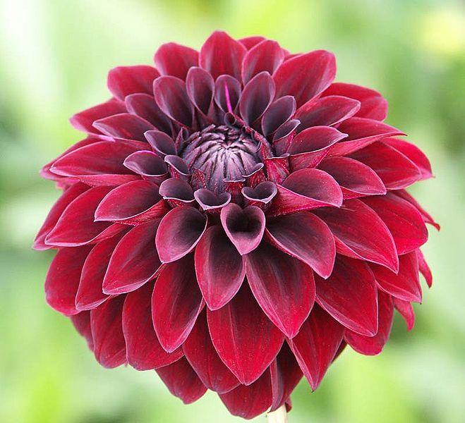 Dahlia Enhance Beautiful For Your Garden Flower Home Dahlia Flower Growing Dahlias Delilah Flower