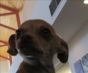 Jelly Is An Adoptable Chihuahua Dog In Santa Rosa Ca Jelly Is A